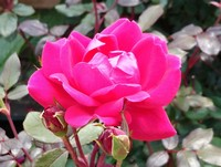 Rosa 'Knockout Double Red' (Shrub Rose)