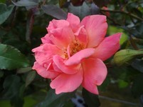 Rose 'Knockout Coral' (Shrub Rose)