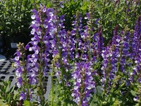 Salvia 'Azure Snow' PPAF (Meadow Sage)