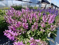 Salvia 'Pretty in Pink' PPAF (Meadow Sage)