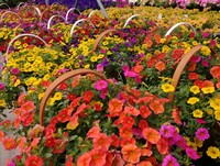 Some Calibrachoa planters...