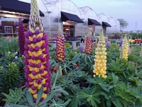 Outstanding West Country Lupine...