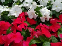 FRESH annuals to add some color to your summer-weary yard or container...