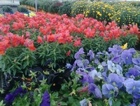 More fresh annuals to decorate with...