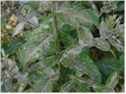 Mildew or Powdery Mildew