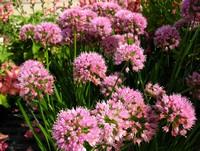 Allium 'Millenium' (Ornamental Chives)