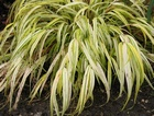 Hakonechloa macra 'Aureola' (Golden-leaved Japanese Forest Grass)