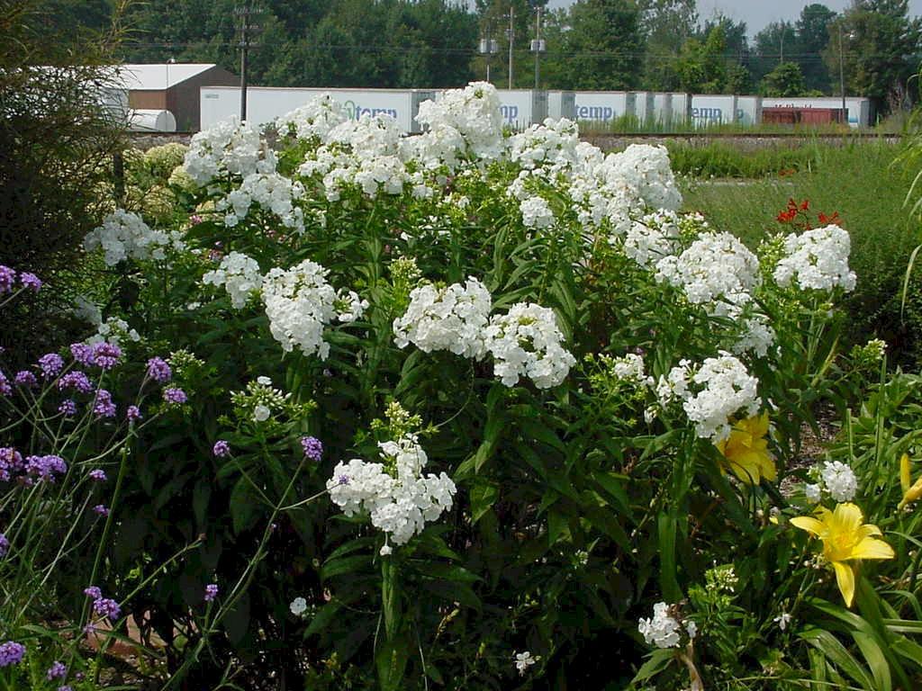 Garden Phlox Paniculata David Garden Ftempo